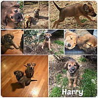 Adopt A Pet :: HARRY - Malvern, AR