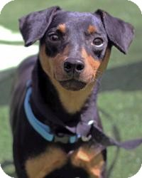 Miniature Pinscher Dog for adoption in South Amboy, New Jersey - Austin