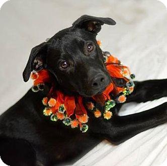 Labrador Retriever Mix Puppy for adoption in Gilbert, Arizona - Dallas
