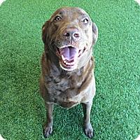Adopt A Pet :: Chloe - Cumming, GA