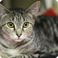 Adopt A Pet :: Sandcat - Chicago, IL