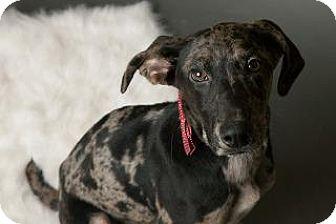 Weimaraner/Catahoula Leopard Dog Mix Dog for adoption in Louisville, Kentucky - Frosty