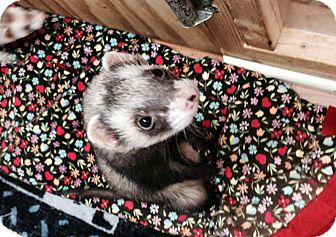 Ferret for adoption in Fawn Grove, Pennsylvania - Romeo