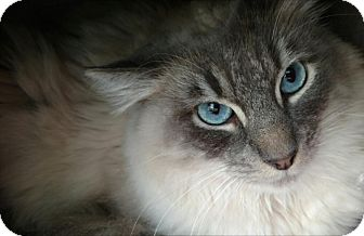 Siamese Cat for adoption in Mountain View, California - Blue