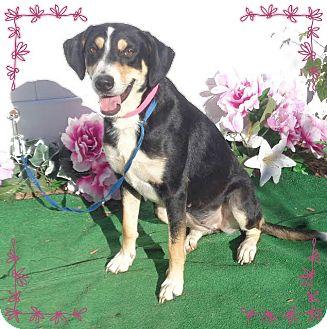 Hound (Unknown Type)/Labrador Retriever Mix Dog for adoption in Marietta, Georgia - STARR (R)