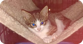 Domestic Shorthair Kitten for adoption in Brooklyn, New York - Lola