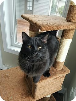 Maine Coon Cat for adoption in Freeland, Michigan - Duster