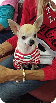 Chihuahua Dog for adoption in S. Pasedena, Florida - Iggy