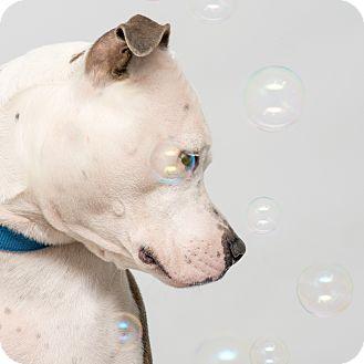 American Bulldog Mix Dog for adoption in Westfield, New York - Frankie