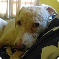 Labrador Retriever/Pointer Mix Dog for adoption in Glastonbury, Connecticut - Athena~adopted!