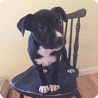 Adopt A Pet :: Hershey - ST LOUIS, MO