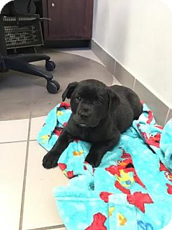 Labrador Retriever Puppy for adoption in Madison, Alabama - Remi
