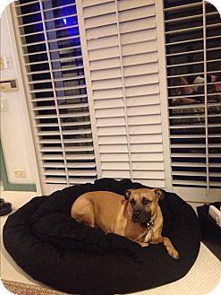American Pit Bull Terrier Mix Dog for adoption in Santa Barbara, California - Dodger