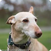 Adopt A Pet :: Anna - East Hartford, CT