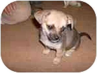 Chihuahua/Shih Tzu Mix Dog for adoption in Katy, Texas - Darcey