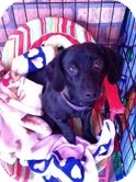 Dachshund Mix Puppy for adoption in North Hollywood, California - Daphne