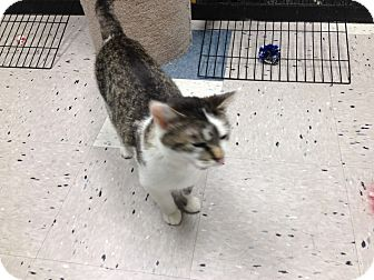 Domestic Shorthair Cat for adoption in West Dundee, Illinois - Bonita