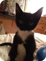 Domestic Shorthair Kitten for adoption in Raritan, New Jersey - Mustachio