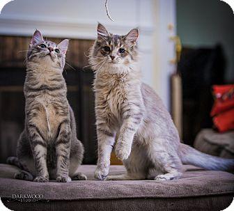 Domestic Longhair Kitten for adoption in St. Louis, Missouri - Eli