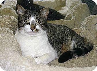Domestic Shorthair Cat for adoption in Muldrow, Oklahoma - Pandora