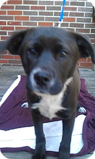 Labrador Retriever/Boxer Mix Dog for adoption in Waldorf, Maryland - Lean #308