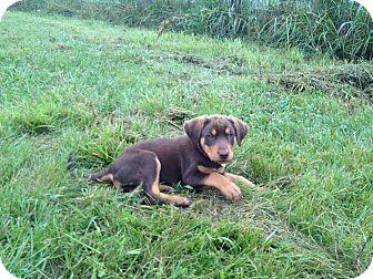 Labrador Retriever Mix Puppy for adoption in Russellville, Kentucky - April
