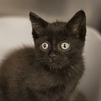 Domestic Shorthair Kitten for adoption in Dallas, Texas - Almond