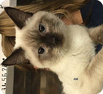 Siamese Cat for adoption in Hibbing, Minnesota - AM
