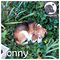 Beagle Dog for adoption in Pittsburgh, Pennsylvania - Sonny