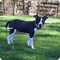Adopt A Pet :: Meatball - Mebane, NC