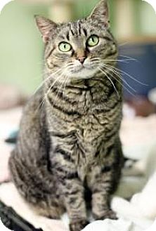 Domestic Shorthair Cat for adoption in Yukon, Oklahoma - Gidget
