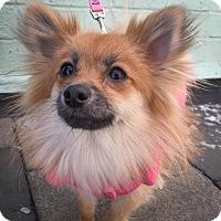 Adopt A Pet :: Kelly - New York, NY