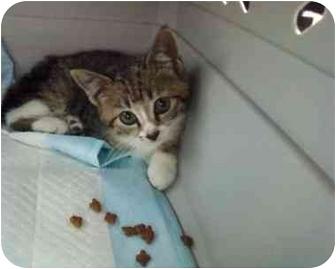 Domestic Shorthair Kitten for adoption in Oakland Park, Florida - Cupcake