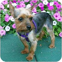 Adopt A Pet :: Suzie - Fremont, CA