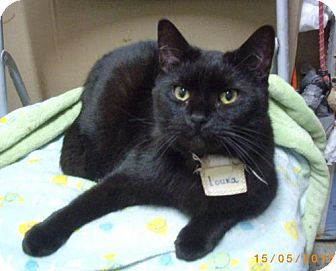 Domestic Shorthair Cat for adoption in Montreal, Quebec - Louka