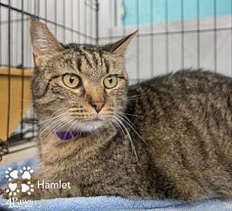 Domestic Shorthair Cat for adoption in Merrifield, Virginia - Hamlet