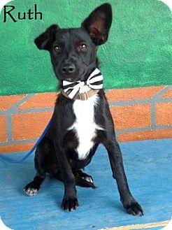 Labrador Retriever/Schipperke Mix Dog for adoption in San Diego, California - Ruth