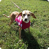 Beagle Mix Dog for adoption in McAllen, Texas - Lucy