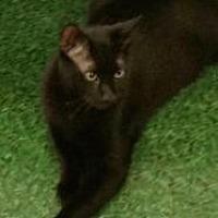 Domestic Shorthair Cat for adoption in Satellite Beach, Florida - Jo Jo