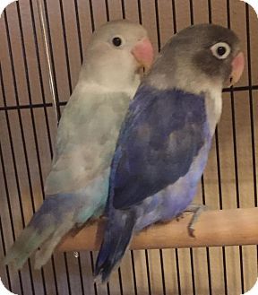Lovebird for adoption in Tampa, Florida - Pearl and Amethyst