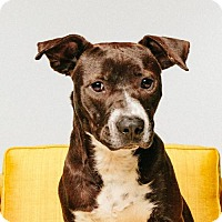 American Staffordshire Terrier Dog for adoption in ROSENBERG, Texas - Scooter