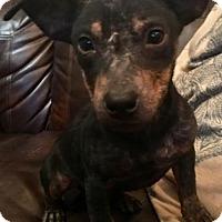 Dachshund Mix Dog for adoption in Longview, Texas - Rocky