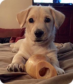 Labrador Retriever/Corgi Mix Puppy for adoption in Sagaponack, New York - Cooper