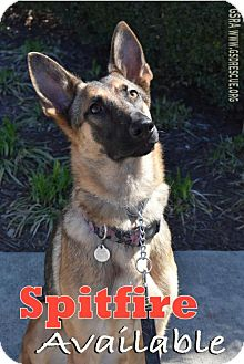 German Shepherd Dog Puppy for adoption in Greensboro, North Carolina - Spitfire