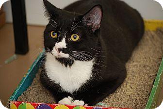 Domestic Shorthair Kitten for adoption in Trevose, Pennsylvania - Sparrow