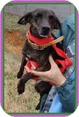 Chihuahua Mix Dog for adoption in Windham, New Hampshire - Bambi (In New England)