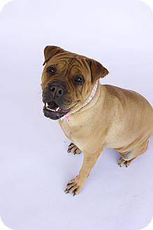 Shar Pei Mix Dog for adoption in Acton, California - J Lo