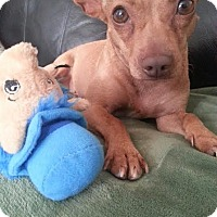 Chihuahua/Rat Terrier Mix Dog for adoption in Franklinville, New Jersey - Juliet