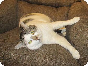 Domestic Shorthair Cat for adoption in Mebane, North Carolina - Tom