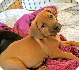 Redbone Coonhound/Labrador Retriever Mix Puppy for adoption in Chicago, Illinois - Caleb*ADOPTED!*